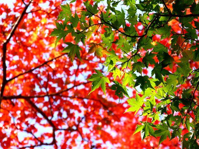 天高く 紅く染まる木々