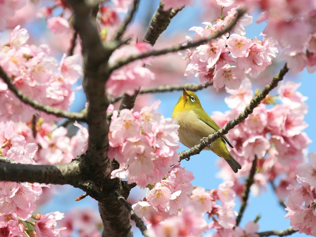 桜の蜜に集まるメジロ