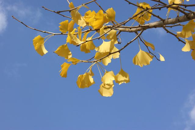 木枯らしに舞う黄金色の輝き