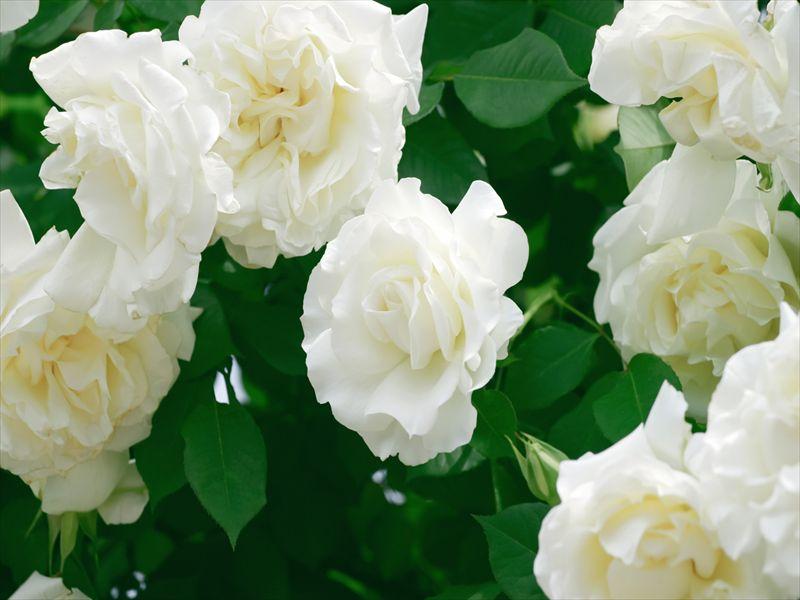 薔薇香る初夏